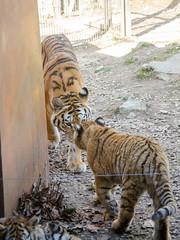Sermon d'une tigresse (Zéphyrios) Tags: besançon doubs franchecomté nikon d7000 citadelle musée muséum jardinzoologique zoo animal tigre sibérie tigredelamour panthera tigris famille social félin