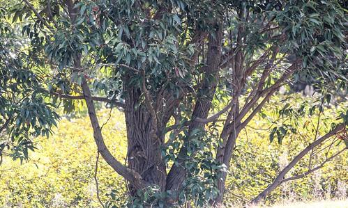 Eucalyptus plantation (possibly E. botryoides), Rapa Nui