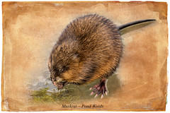 The Great Muskrat Migration (Johnrw1491) Tags: short story small mammals fine art digital illustration muskrat habitat lakes ponds rivers desert animals wildlife marshes