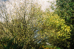 Woods 11 (avenwildsmith) Tags: film 35mm nature devon countryside analog analogue kodak retinette 1b grain england britain wild wilderness plant plants tree trees wood woods forest leaves 35mmfilm kodakretinette1b