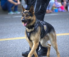 Police Dog (swong95765) Tags: dog canine k9 police animal trained alert cute shepherd germanshepherd