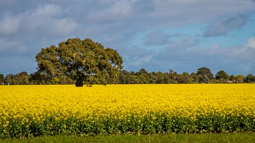 Canola Fields-4
