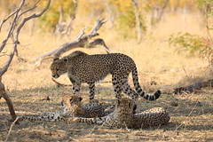 Cheetah Siblings Hwange National Park Zimbabwe Africa (eriagn) Tags: africa zimbabwe hwangenationalpark cheetah bigcat wildlife africanwildlife savannah resting thehide ngairehart ngairelawson eriagn bigfive gamedrive safari travel traveller canon eos dryseason animal predator mammal exploreunexplored