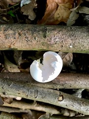 (lauraknowles4) Tags: iphone ground sticks hatched egg woods