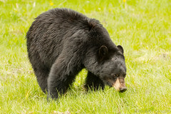Mow-em down (ChicagoBob46) Tags: blackbear bear boar yellowstone yellowstonenationalpark nature wildlife coth5 ngc