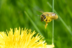Taraxacum Bee (RightBalance) Tags: honeybee bee honey insect dandelion taraxacum