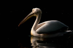 Light and shadow! (Jambo53 (Robert Kok)) Tags: captive pelican pelikaan robertkok nature bird vogel nikond800 sigma50500 aves waterbird pelecanidae