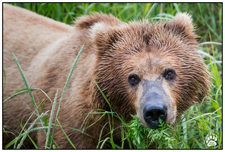 Alaska Brown Bear 070117-9715-W.jpg