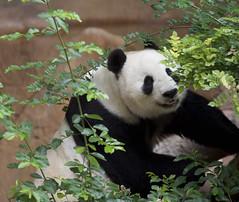 Bai Yun - San Diego Zoo (Rita Petita) Tags: baiyun sandiegozoo sandiego california china panda giantpanda specanimal explore