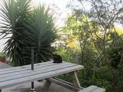 IMG_9565 (Chat Malicieux) Tags: cat chat katze kätzchen kitten table tisch