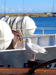 Schöne neue Woche! (ingrid eulenfan) Tags: rügen insel sassnitz hafen vogel bird island port gull wasser ostsee boot