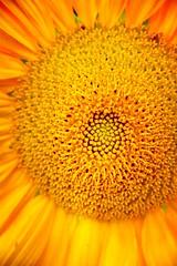 Happines (barbara_donders) Tags: geluk zomer summer sun zon sunflower zonnebloem bloem flower macro nature natuur yellow geel prachtig mooi beauty beautifull magical