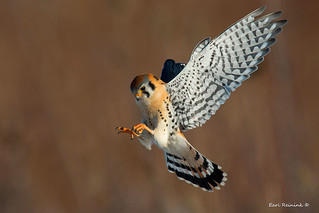 Kestrel about to pounch