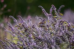 Salbei   Salvia (*Photofreaks*) Tags: gruga grugapark park essen ruhr ruhrgebiet nrw nordrheinwestfalen deutschland germany flowers blumen autumn fall adengs wwwphotofreakseu salbei salvia