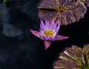 Tropical Waterlily, Star of Siam (vern Ri) Tags: nybg fleur flora fiori blumen bloom purple mauve fuji
