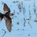 Welcome Swallow (Hirundo neoxena) - Best viewed large! (Derek Midgley) Tags: dsc7581 hirundoneoxena welcomeswallow dvw