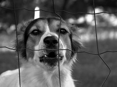 D o g (ce_lia95) Tags: sonycybershot sonydsch1 camera capture picture photo photographie shot nature light scene moment animal dog blackandwhite fence grass garden trees sun eyes sparklingeyes