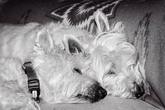 Best Friends (jwfuqua-photography) Tags: dogs westie mac pets doogie jwfuquaphotography jerrywfuqua