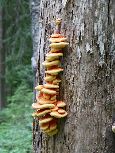 Upper 19 Mile Creek trail - fungus on trees