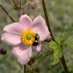 Windflower and Bee (mahar15) Tags: plant windflower bee nature flower outdoors insect bloom beeonflower japanesewindflower