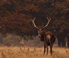 Goodbye Summer ..... (A child in the night) Tags: deer cheshire fall autumn woodland turning