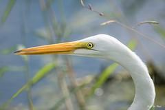 _DSC2389 (P2 New) Tags: 2016 animaux ardéidés ciconiiformes costarica date décembre grandeaigrette oiseaux pays statedegolfdelaiguana herradura puntarenasprovince