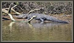 Unnerving (WanaM3) Tags: wanam3 nikon d7100 nikond7100 texas pasadena clearlakecity outdoors nature wildlife canoeing paddling animal reptile gator alligator alligatormississippiensis