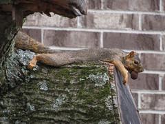 Hot Squirrel (deu49097) Tags: squirrel walnut hot