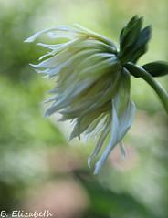 Little Bud (Barbara.Elizabeth) Tags: bud softfocus canon dahlia farm summer longisland canon80d