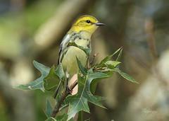 Cooler Weather (slsjourneys) Tags: warbler fallmigration blackthroatedgreenwarbler greatswampnwr