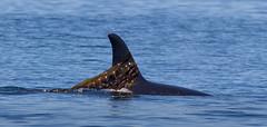 Seaweed Scarf (irelaia) Tags: vancouverisland canada british columbia orca wild seaweed