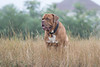 1C6A6520 (andreyshkvarchuk) Tags: dog doguedebordeaux mastiff