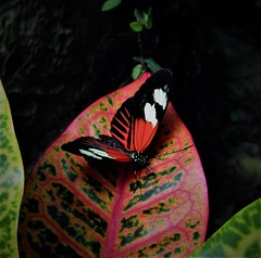 Quite a pretty one, (DonaSite) Tags: franklinparkconservatory columbus ohiobutterfly explore