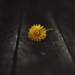 Dandelionscape (Budoka Photography) Tags: flower dandelion 7dwf macro closeup bokeh outdoor stilllife