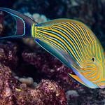 Striped Surgeonfish - Acanthurus lineatus thumbnail