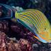 Striped Surgeonfish - Acanthurus lineatus