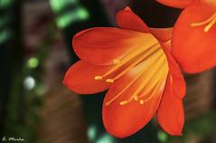 Intense color in the garden. INtenso color en el jardín (A. Muiña) Tags: flowers flor color garden jardín bokeh desenfoque airelibre freshair naturaleza planta nature plant decoración decor macrofotografía nikon nikond800 macro