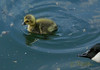 110525 ocMN 170907 © Théthi ( 4 pics ) (thethi (pls, read my 1st comment, tks a lot)) Tags: nature oiseau oison oie canada eau riviere fleuve mai vast'yfrotte namur wallonie belgique belgium setwings setnamurcity setwater setvosfavorites faves54