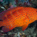 Coral Grouper - Cephalopholis miniata thumbnail