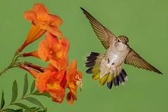 Face-off (Eric Gofreed) Tags: arizona blackchinnedhummingbird hummingbird mybackyard sedona villageofoakcreek crabspider