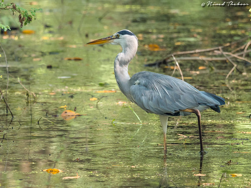 """Gray Heron • <a style=""""font-size:0.8em;"""" href=""""http://www.flickr.com/photos/59465790@N04/37014794715/"""" target=""""_blank"""">View on Flickr</a>"""