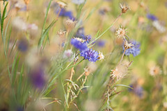 * (monorail_kz) Tags: cornflower issykkul summer flowers grass bokeh vintagelens jupiter37a