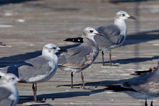 Laughing Gulls, Florida, FL IMG_2570