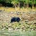Coastal Bear, Tofino | September 2017
