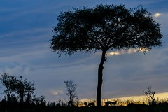 SUNSET ON THE SAVANNAH (dmberman1) Tags: sunset tanzania wildlife silouette tarangirenationalpark animals eastafrica africasafari