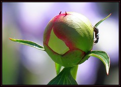 IMG_5180 Honoring Nature's Contract 5-20-17 (arkansas traveler) Tags: ant bichos bugs insects flowers peony nature naturewatcher natureartphotography bokeh bokehlicious zoom telephoto abstract