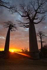 (mdiec) Tags: madagascar africa baobab alley trees kids people road adansonia nature rickshaw avenue malagasy menabe morondava sunset