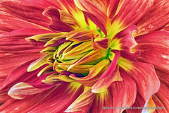 Red Storm (Gary Grossman) Tags: dahlia flower dazzling garygrossmanphotography petals colorful summer natural beauty organic pacificnorthwest willamettevalley
