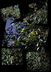 Nandina Domestica (jalexartis) Tags: nandinadomestica nightphotography night nightshots lighting shrub shrubbery camranger lumecube