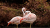 Caribbean flamingos (Millie (On and Off)) Tags: flamingo flamingos zoo pink bronxzoo newyork birds nature tamron18400 soe inspiredbylove saveearth animalplanet